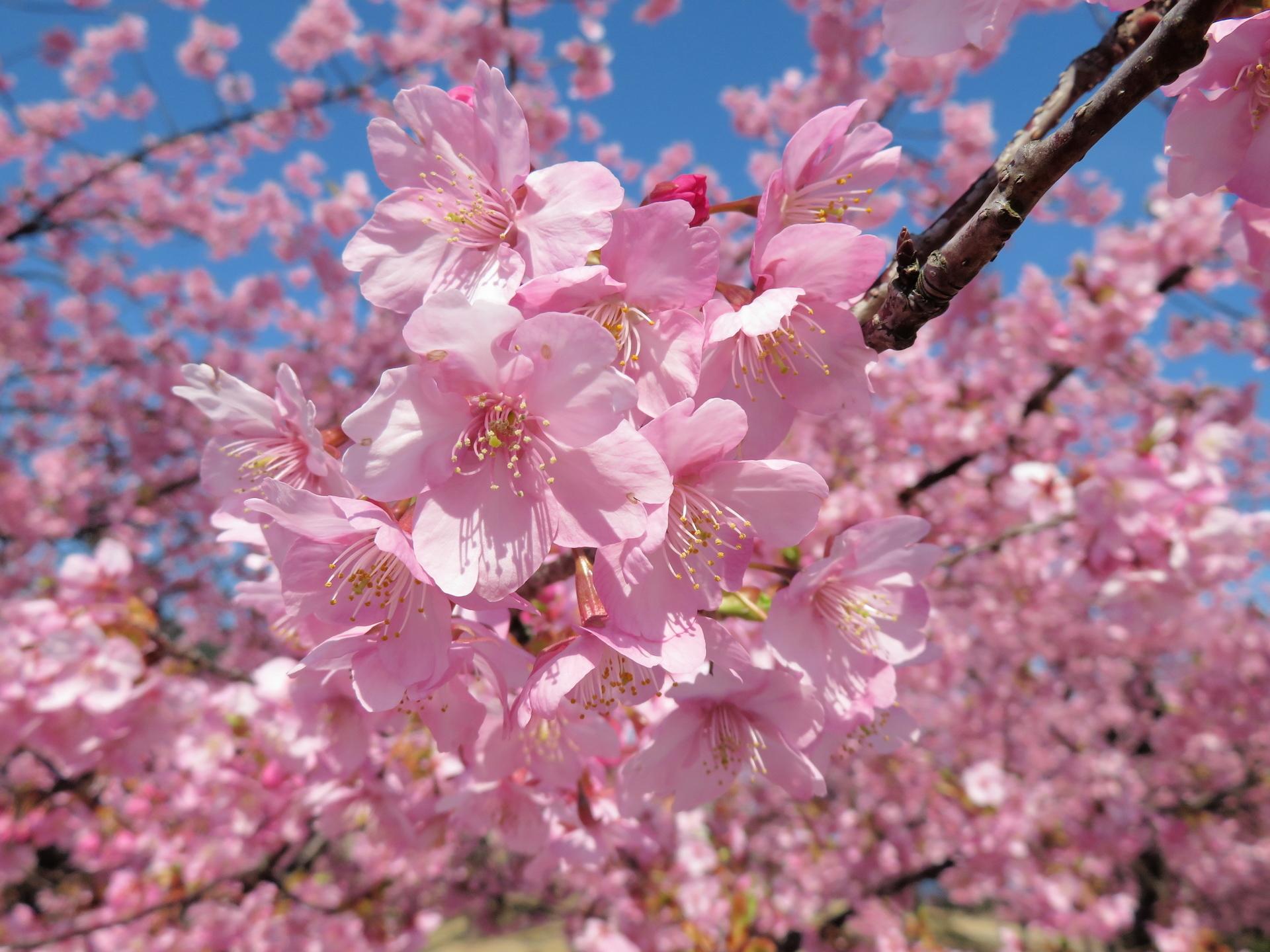 河津桜(カワヅザクラ): 山野草、植物めぐり
